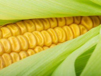 Ukraine agriculture: Kenya is seeking to import 450 million tons of Ukrainian maize